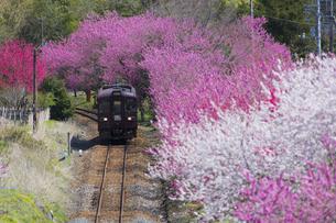 花桃の中を走るわたらせ渓谷鉄道の写真素材 [FYI04669619]
