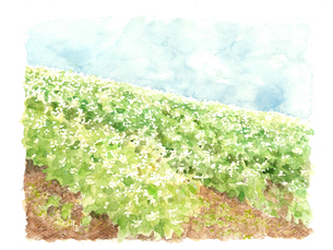 蕎麦畑 風景 青空 ソバの花 白い花 野菜の花 自然 【水彩】のイラスト素材 [FYI04669791]
