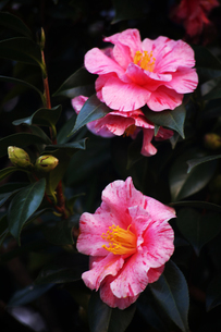 椿の花・和歌の浦の写真素材 [FYI04669949]