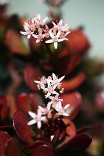 花咲く金のなる木の写真素材 [FYI04669951]
