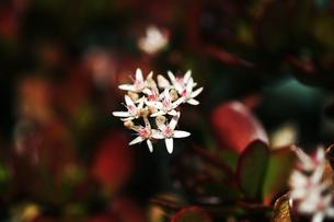 花咲く金のなる木の写真素材 [FYI04669964]