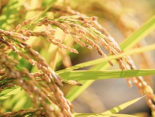 【秋】田園で穂が実ってきた米の稲が風にゆれる様子 農業の写真素材 [FYI04669966]