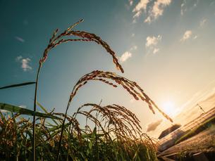 【秋】夕方の穂が実ってきた米を耕した田んぼ 農業の写真素材 [FYI04669967]
