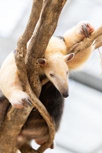 木に登るミナミコアリクイの写真素材 [FYI04670002]