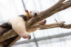 樹上で休むミナミコアリクイの写真素材 [FYI04670003]