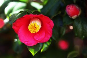 椿・赤い藪椿の花の写真素材 [FYI04670011]