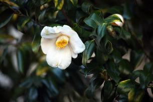 椿・白い藪椿の花の写真素材 [FYI04670012]
