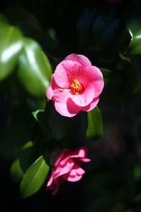 椿・土佐有楽の花の写真素材 [FYI04670013]