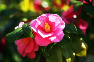 椿・土佐有楽の花の写真素材 [FYI04670016]