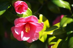 椿・土佐有楽の花の写真素材 [FYI04670038]