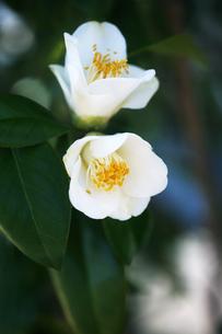椿・白侘助の花の写真素材 [FYI04670039]
