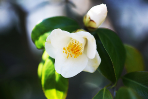 椿・白侘助の花の写真素材 [FYI04670049]