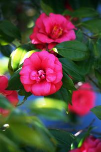 椿・村娘の花の写真素材 [FYI04670050]