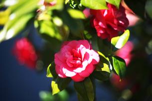椿・村娘の花の写真素材 [FYI04670051]