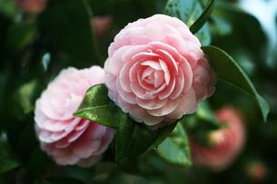 椿・乙女の花の写真素材 [FYI04670052]