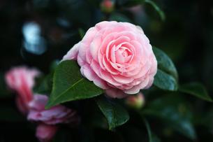 椿・乙女の花の写真素材 [FYI04670053]