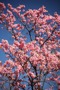桜・色鮮やかな山桜の花の写真素材 [FYI04670058]