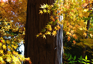 京都の紅葉 Autumn leaves in Kyoto 鷺ノ森神社のカラフルもみじの写真素材 [FYI04670090]