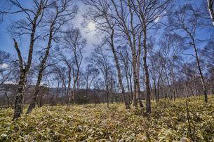 八千穂高原 白樺林の写真素材 [FYI04670120]