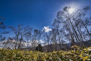 八千穂高原 白樺林の写真素材 [FYI04670121]
