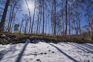 八千穂高原 白樺林の写真素材 [FYI04670122]