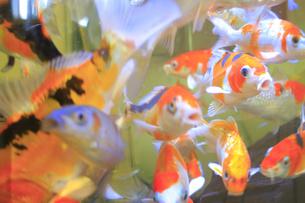 錦鯉の稚魚の写真素材 [FYI04670204]