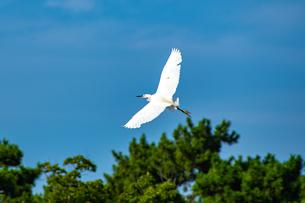 飛翔する白サギの写真素材 [FYI04670839]