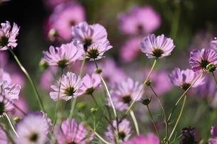 コスモスの花畑の写真素材 [FYI04670889]