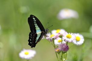 ハルジオンの花の蜜を吸うアオスジアゲハの写真素材 [FYI04670890]