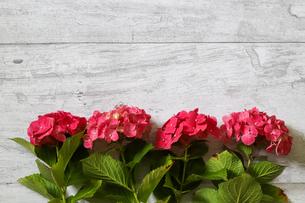 木材バックの紫陽花の写真素材 [FYI04670894]