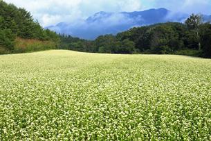 9月 下郷町の猿楽台地のそば畑の写真素材 [FYI04670957]