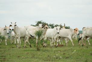 ブラジルのゼブ牛の写真素材 [FYI04670965]