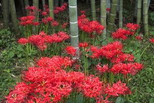 9月 竹林の彼岸花の写真素材 [FYI04670969]