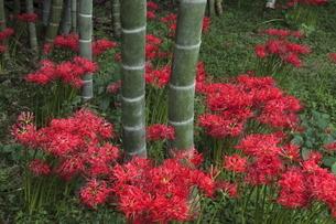 9月 竹林の彼岸花の写真素材 [FYI04670970]