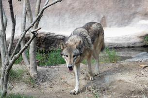 シンリンオオカミの写真素材 [FYI04671052]