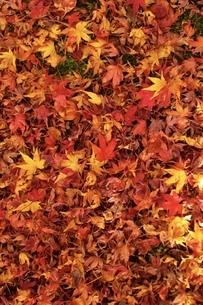 紅葉の絨毯の写真素材 [FYI04671188]