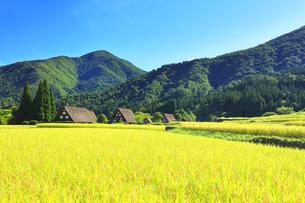 世界文化遺産 秋の白川郷合掌造り集落の写真素材 [FYI04671387]