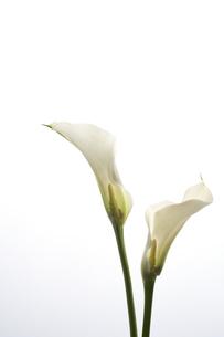 白い背景と透けた2本のカラーの写真素材 [FYI04671504]