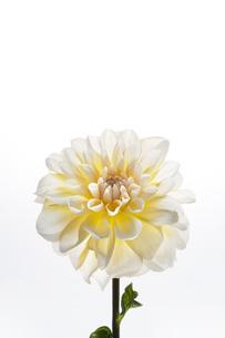 白い背景と白と黄色のダリアの写真素材 [FYI04671505]