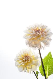 白い背景と白と黄色のダリアの写真素材 [FYI04671506]