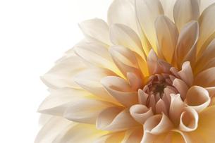 白い背景と白と黄色のダリアのアップの写真素材 [FYI04671507]