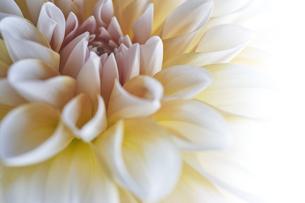 白い背景と白と黄色のダリアのアップの写真素材 [FYI04671508]