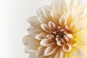白い背景と白と黄色のダリアのアップの写真素材 [FYI04671509]