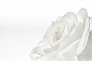 白い背景と白いバラの写真素材 [FYI04671510]