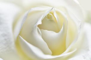 白いバラのアップの写真素材 [FYI04671515]