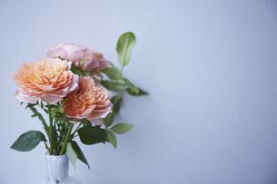 白い壁とオレンジのバラの写真素材 [FYI04671532]
