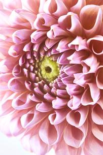 ピンクのダリアのアップの写真素材 [FYI04671538]