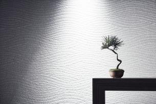 台の上の小さな松の盆栽の写真素材 [FYI04671540]