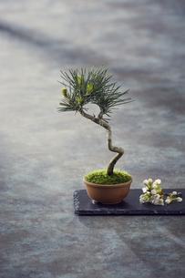 黒い石板に乗った松の盆栽と白い小花の写真素材 [FYI04671563]