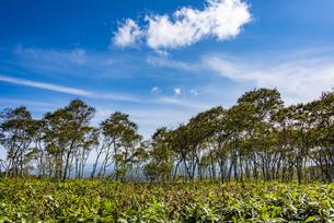 摩周湖のダケカンバの林と笹原の写真素材 [FYI04671650]